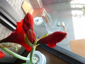 まだ開花準備のつぼみもあるアマリリス