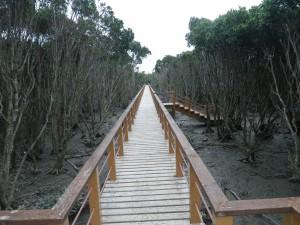 マングローブの中の歩道